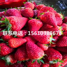 哪里批发日本99草莓苗、日本99草莓苗批发多少钱图片