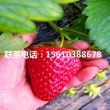 艳丽草莓苗图片图片