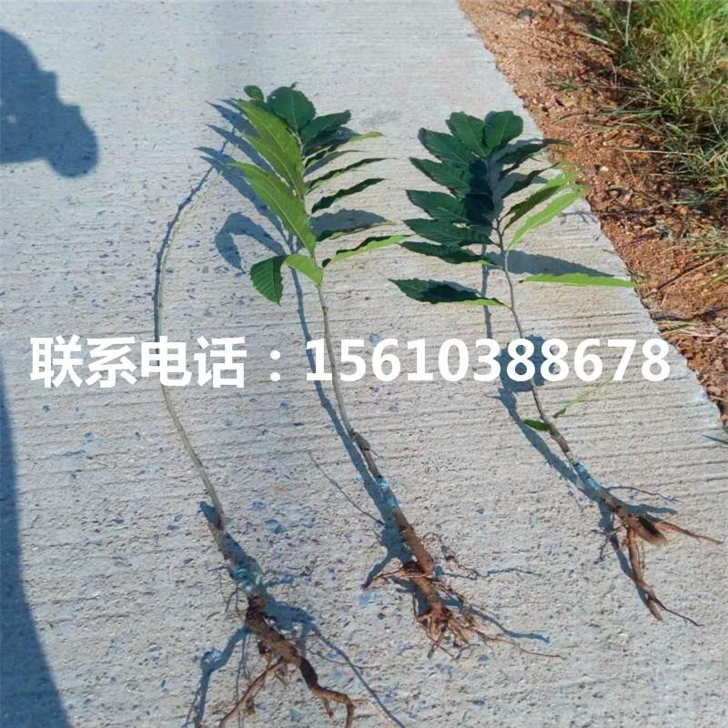 九家种板栗苗一亩地栽多少棵、九家种板栗苗种植技术