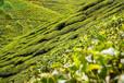 春茶種植竅門