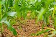 糯玉米種植技術分享