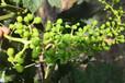 葡萄如何疏花疏果來提?