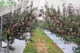 蘋果播種認準這幾個時間