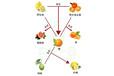 桔、柑、橙、柚的區別