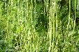 豆角種植時間及田間管理技術