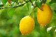夏季檸檬管理技術