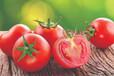 怎樣預防露地番茄早衰?