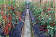 大棚番茄種植技術要點