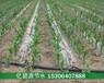 通遼玉米一畝地用多少米滴灌帶
