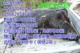韶关电子野猪捕猎器多少钱1千元起韶关电打野猪