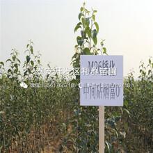 M9T337苹果树苗多少钱一棵、M9T337苹果树苗批发价格图片