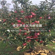 专业种植富士苹果苗基地图片