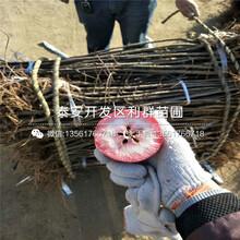 新品种2001苹果树苗、新品种2001苹果树苗批发基地图片