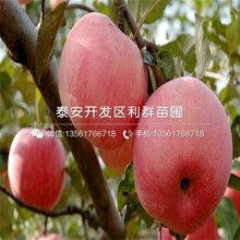 短枝红富士苹果树苗批发价格、短枝红富士苹果树苗价格是多少图片