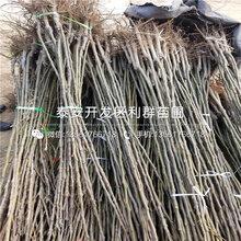 黃冠梨(li)苗(miao)出售、黃冠梨(li)苗(miao)多少(shao)錢一(yi)棵圖片