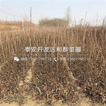 新品种2018年梨苗、新品种2018年梨苗出售图片