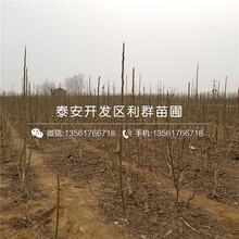 新品种早实8518核桃树苗价格多少图片