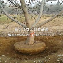核桃树树苗销售价格图片