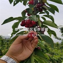 山东占地樱桃树苗出售价格、山东占地樱桃树苗出售基地图片