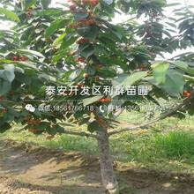 新品种布鲁克斯樱桃树苗出售图片