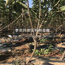 新品种吉塞拉12号砧木大樱桃苗、新品种吉塞拉12号砧木大樱桃苗出售价格多少图片