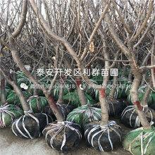 吉塞拉7号砧木樱桃苗供应商图片
