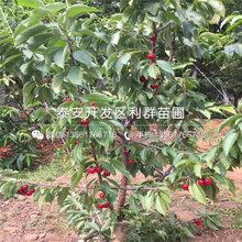 一(yi)棵紅妃(fei)櫻桃樹苗(miao)多少(shao)錢圖片