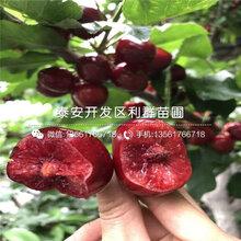 哪里便宜4公分樱桃苗图片