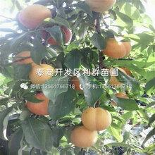 山东黑琥珀李子树苗价格、山东黑琥珀李子树苗出售价格是多少图片