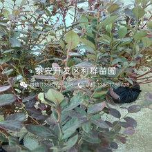 新品种爱国者蓝莓苗价格多少图片