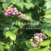 阳光蓝蓝莓树苗出售价格、阳光蓝蓝莓树苗价格是多少