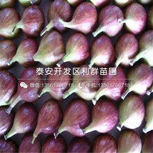 白圣比罗无花果树苗批发价格多少钱图片