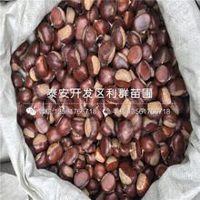 新品种板栗树苗、新品种板栗树苗多少钱图片