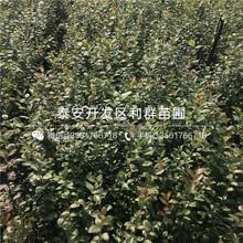 矮化矮化吉塞拉大樱桃苗哪里有卖、矮化矮化吉塞拉大樱桃苗多少钱一棵图片