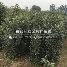 哪里有矮化山东樱桃苗出售、2019年矮化山东樱桃苗价格图片