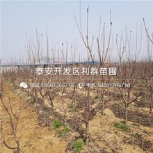 矮化福星大樱桃树苗、矮化福星大樱桃树苗报价图片