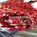2019年红油香椿树苗、红油香椿树苗多少钱一棵