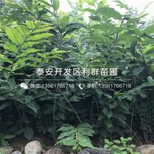 15公分柿子树苗价钱图片