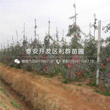 5公分8公分苹果树苗价格图片