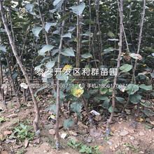 矮化兰丁2号根系大樱桃苗出售价格图片