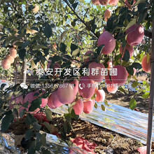 哪里有矮化冰糖樱桃苗批发、矮化冰糖樱桃苗价格是多少图片