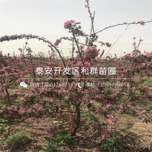 山東吉塞拉5號根系大櫻桃樹苗、山東吉塞拉5號根系大櫻桃樹苗出售圖片
