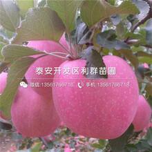黃蜜櫻桃樹苗多少錢一棵、黃蜜櫻桃樹苗出售基地圖片