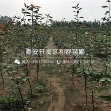 大樱桃树树苗多少钱一棵、大樱桃树树苗新品种图片