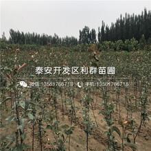 矮化吉塞拉12号砧木樱桃树苗哪里批发、矮化吉塞拉12号砧木樱桃树苗多少钱一棵图片