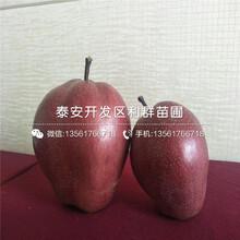 山东矮化吉塞拉5号砧木樱桃苗多少钱、山东矮化吉塞拉5号砧木樱桃苗多少钱一棵图片