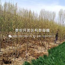 美国杏李子树苗、美国杏李子树苗批发价格是多少图片