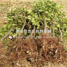 核桃树树苗市场报价、核桃树树苗多少钱一棵图片
