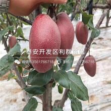 矮化樱桃树苗报价行情图片