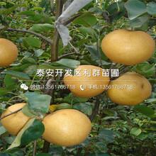 山东黑珍珠大樱桃树苗、山东黑珍珠大樱桃树苗价格图片